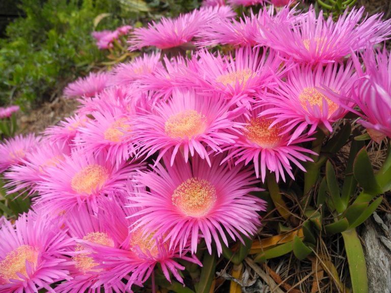 Carpobrotus fiore F.Giannini (8)